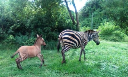 It's a Zonkey – Zebra gives birth to an unusual baby after mating with Donkey